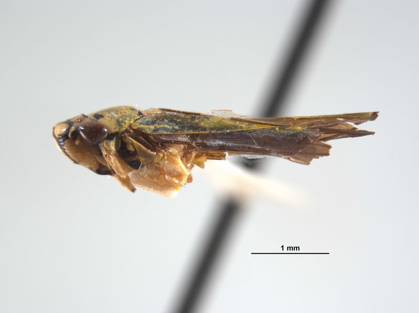 Lautereria tapirapensis image