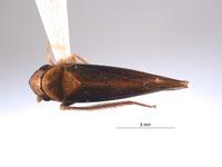 Image of Mesogonia bicornuta