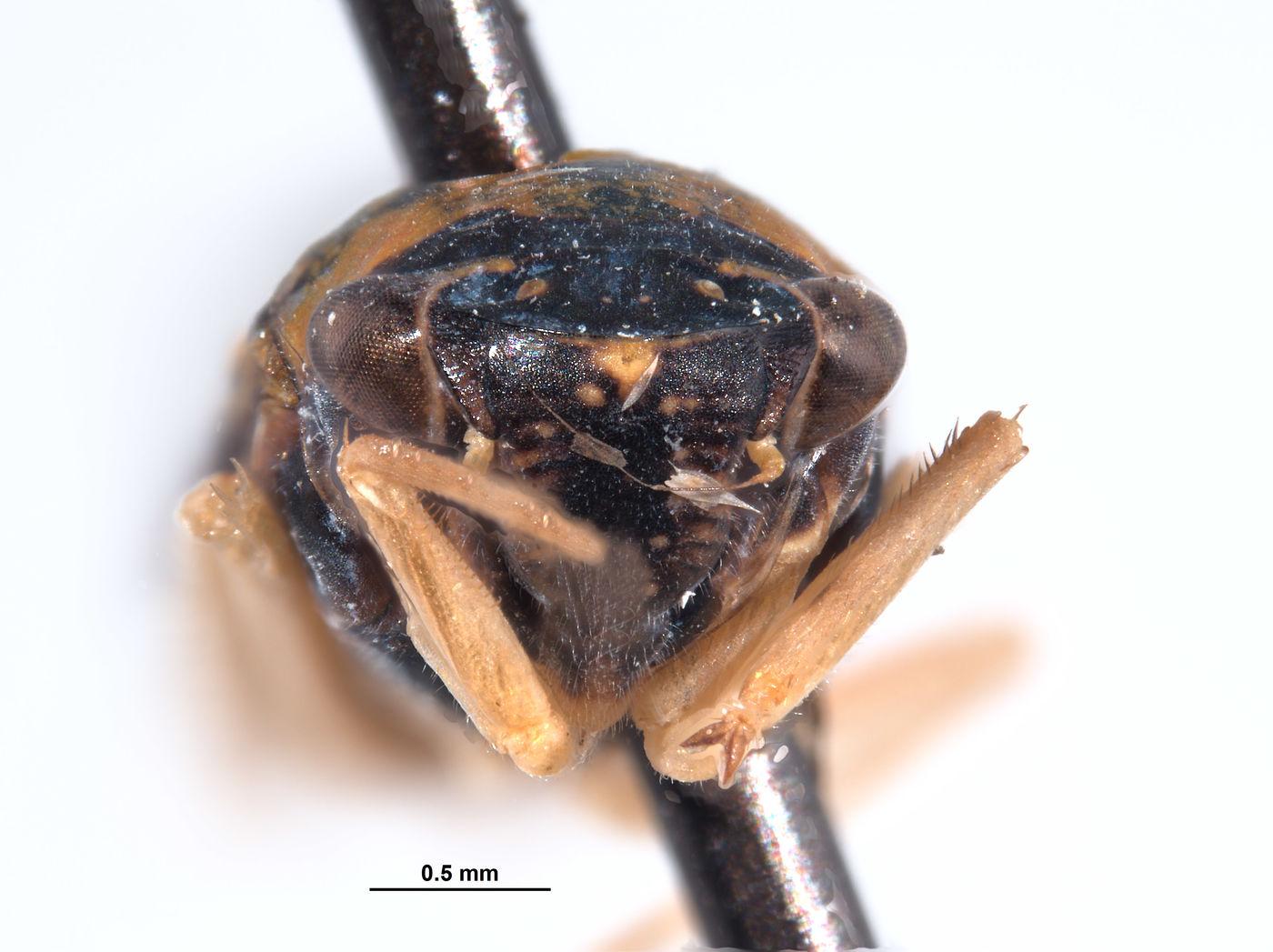 Mesogonia monsonensis image