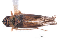 Image of Mesogonia rondosa