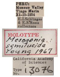 Mesogonia semilucida image