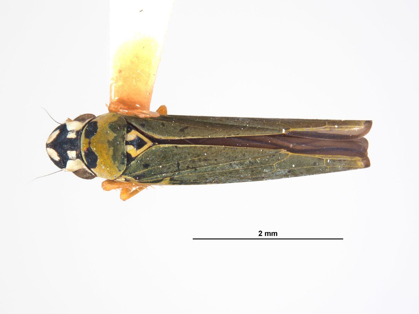 Lautereria unocahua image