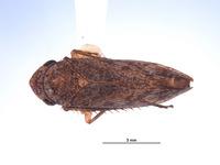 Image of Oragua yuracensis