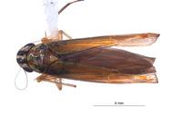 Image of Sibovia carahua