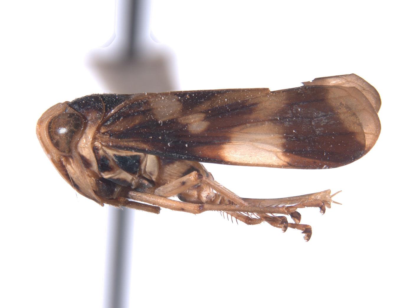 Conbalia colombiensis image