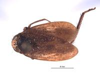 Image of Docalidia fabricii