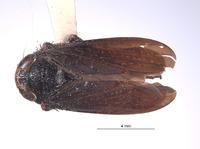 Image of Docalidia tincta