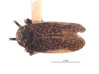 Image of Docalidia venusta