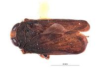 Image of Inoclapis peruviensis