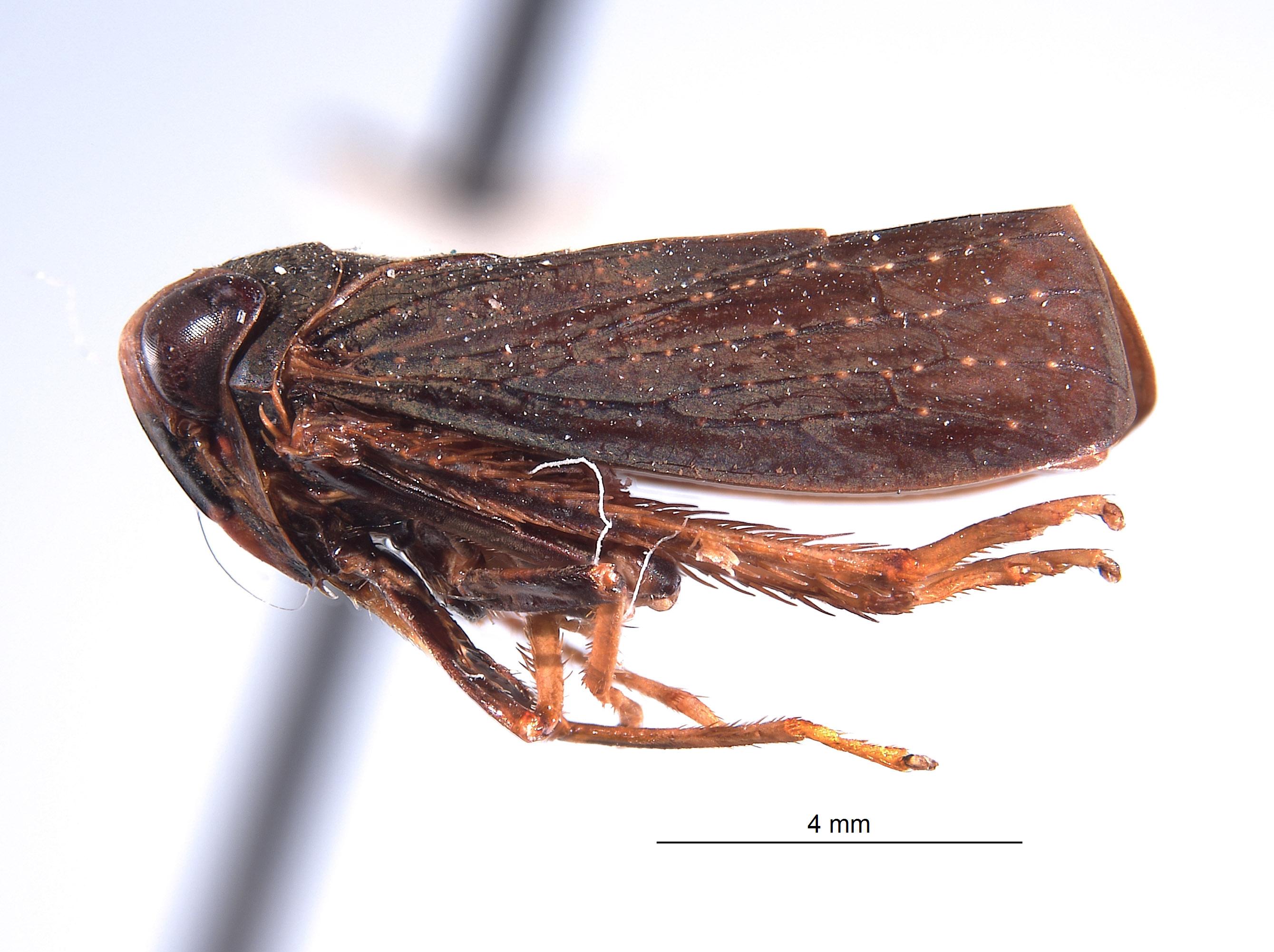 Inoclapis peruviensis image