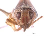 Perulidia crista image