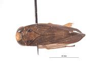 Image of Kalimorpha espinosa