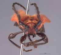 Corynellus cinnabarinus image