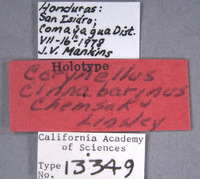 Image of Corynellus cinnabarinus