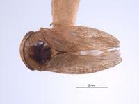 Image of Momoria gladora