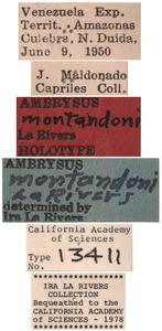Ambrysus montandoni image