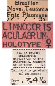 Limnocoris aculabrum image