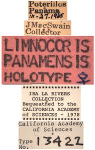 Limnocoris panamensis image