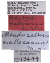 Mendozellus mallecoanus image