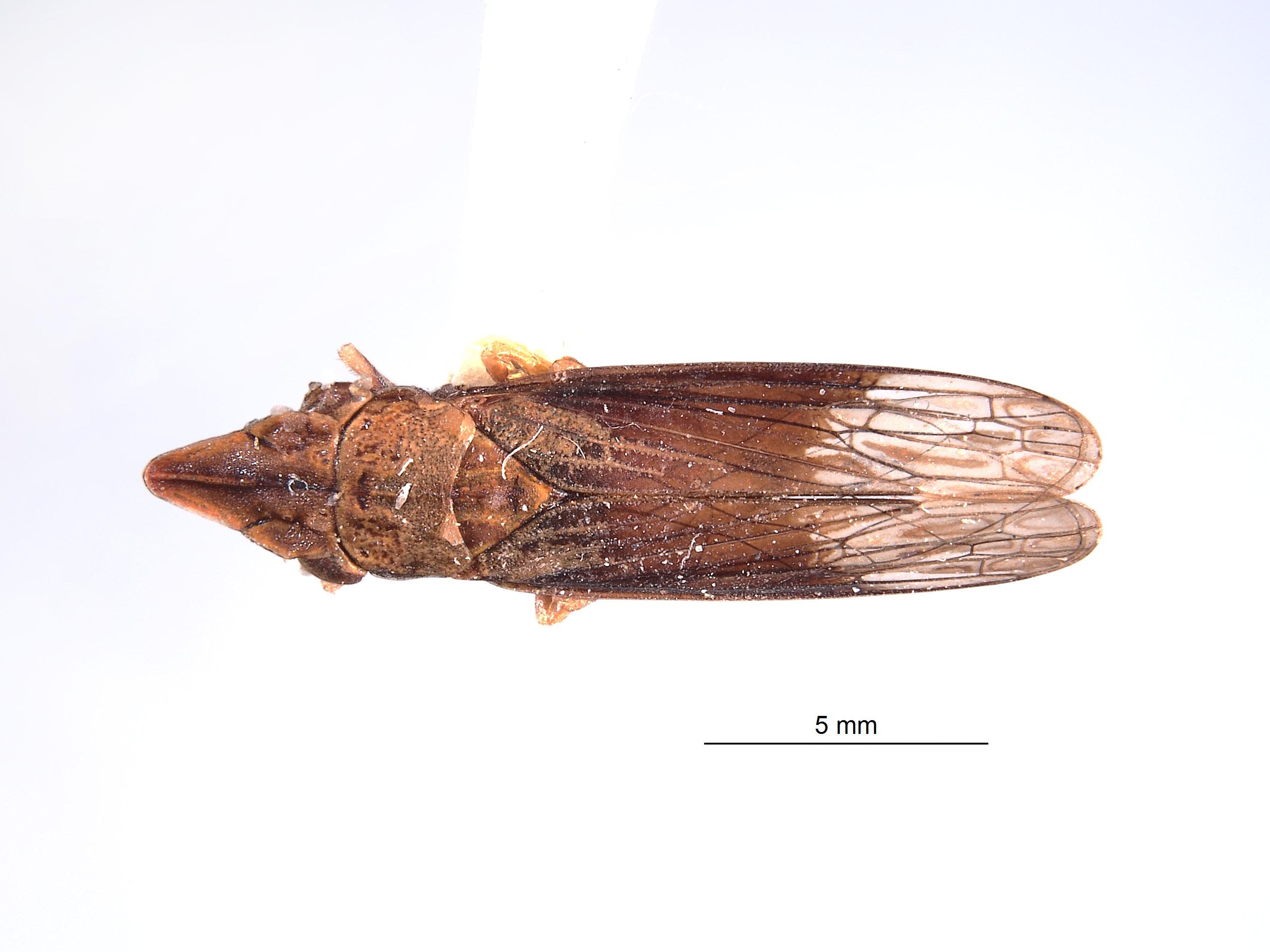 Phereurhinus image