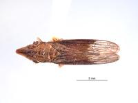 Image of Phereurhinus hoplon