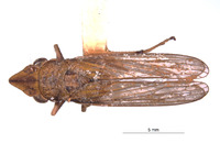 Image of Phereurhinus sosanion