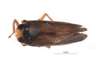 Articoelidia bicurvata image