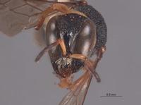 Image of Lestica tobleri