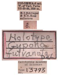 Gypona fulvanota image