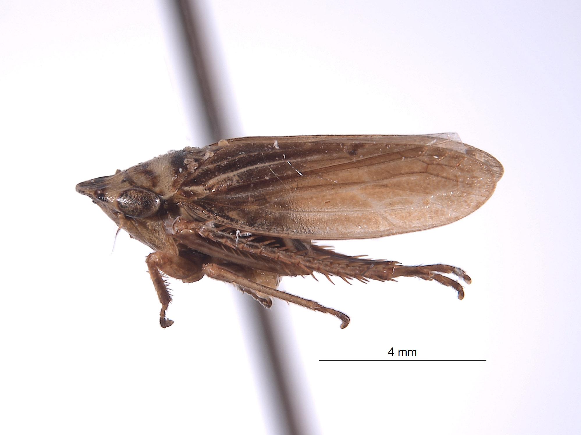 Aphrodes californiensis image