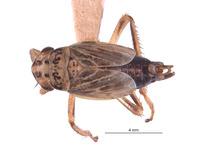Image of Errhomus silvaticus