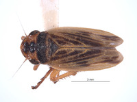 Image of Eurevacanthus emilus