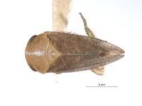 Image of Stragania ivanpah