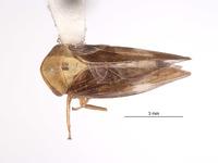 Image of Macropsis aureocephala
