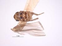 Image of Empoascanara sipra