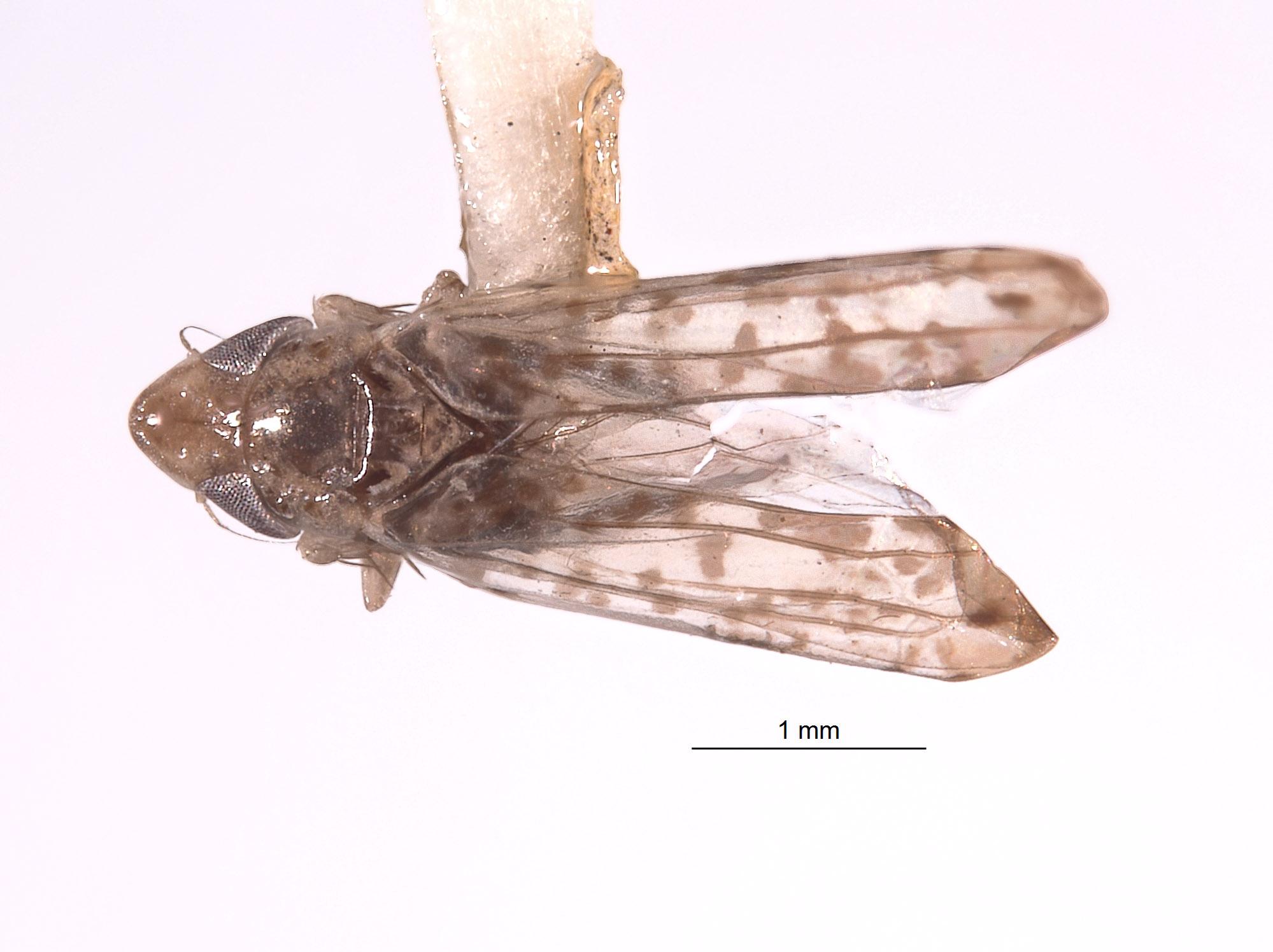 Zyginella maculata image
