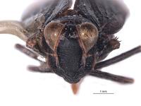 Brevolidia aequalis image