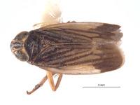 Image of Brevolidia globosa