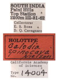 Calodia spinocava image