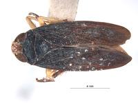 Image of Calodia trispinata