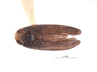 Image of Lodiana mutabilis
