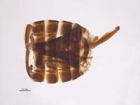 Lodiana serra image
