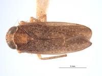 Image of Omanolidia keiferi