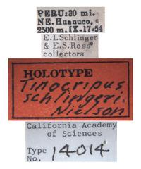 Tinocripus schlingeri image