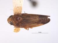 Image of Tinocripus spinosus