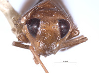 Labocurtidia ungula image