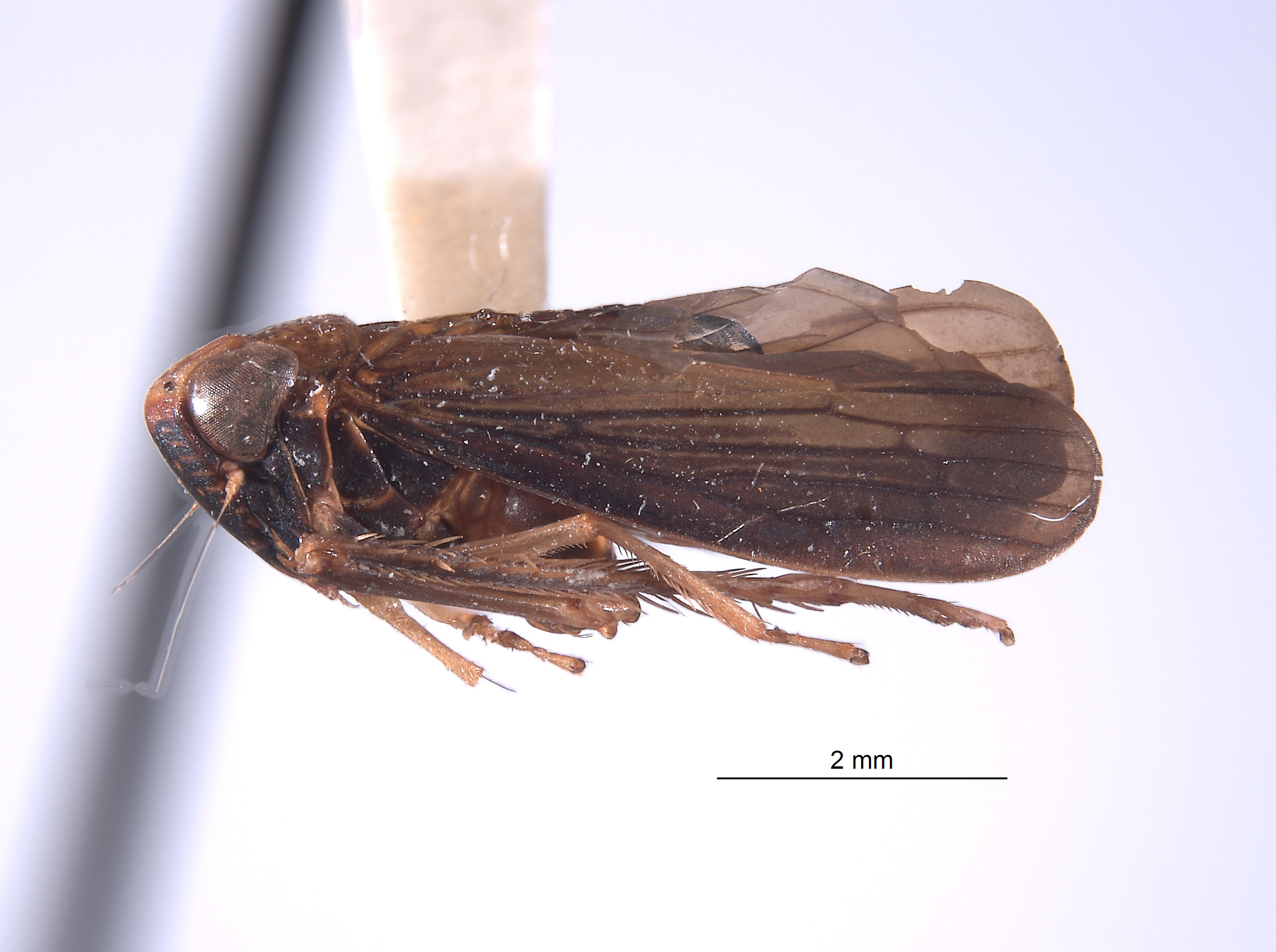 Youngolidia lateralis image