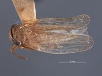 Image of Paramesodes mokanshanae