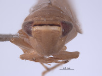 Chlorotettix bifurcatus image