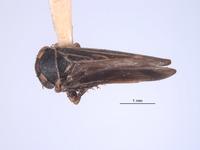 Image of Japanagallia nepalensis